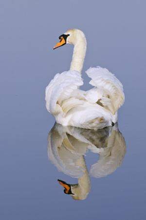 Mute Swan (Cygnus Olor), Kent, England, UK, March by Terry Whittaker