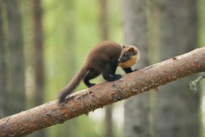 Pine Marten (Martes Martes) 4-5 Month Kit Walking Along Branch in Caledonian Forest, Scotland, UK by Terry Whittaker