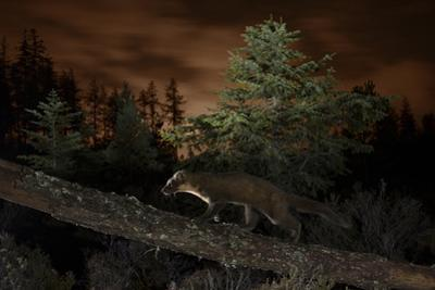 Pine Marten (Martes Martes) Walking Along Branch by Terry Whittaker