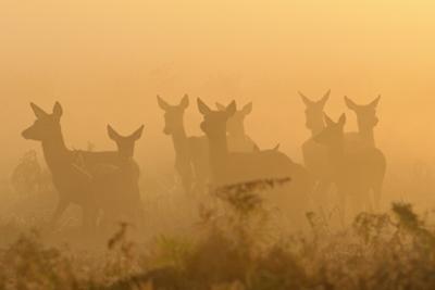 Red Deer (Cervus Elaphus) Hinds in Mist at Sunrise, Bushy Park, London, UK, October by Terry Whittaker