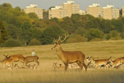 Red Deer (Cervus Elaphus) in Richmond Park with Roehampton Flats in Background, London, England, UK by Terry Whittaker