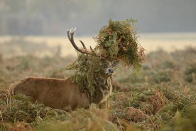 Red Deer (Cervus Elaphus) Stag Thrashing Bracken, Rutting Season, Bushy Park, London, UK, October by Terry Whittaker