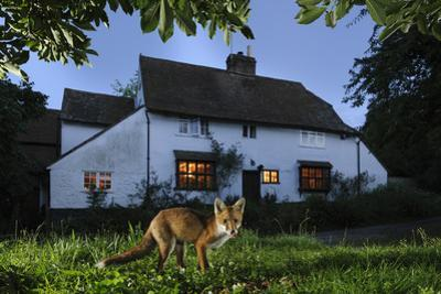 Red Fox (Vulpes Vulpes) Eating Pet Food Left Out For It In Suburban Garden At Twilight, Kent, UK by Terry Whittaker