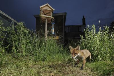 Red Fox (Vulpes Vulpes) Foraging for Scraps in Town House Garden Managed for Widlife by Terry Whittaker