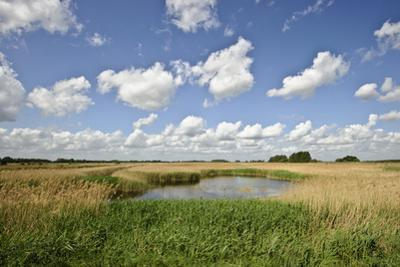 Reed Beds at Joist Fen, Lakenheath Fen Rspb Reserve, Suffolk, UK, May 2011 by Terry Whittaker