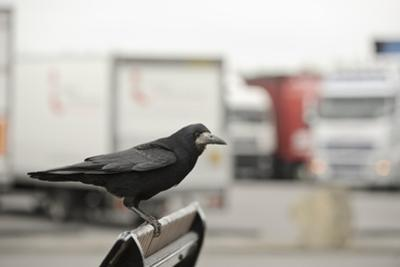 Rook (Corvus Frugilegus) Perched in Motorway Service Area, Midlands, UK, April by Terry Whittaker