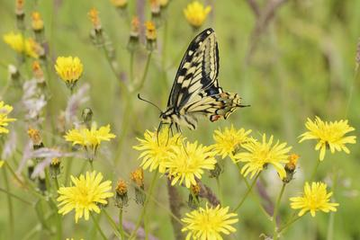 Swallowtail Butterfly (Papilio Machaon Britannicus) on Hawkbit Flower. Strumpshaw Fen, Norfolk