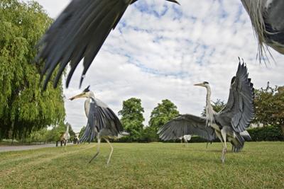 Three Grey Herons (Ardea Cinerea) Fighting in Regent's Park, London, UK, April 2011 by Terry Whittaker