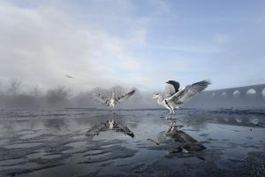 Two Grey Herons (Ardea Cinerea) on Ice, Squabbling over Fish, River Tame, Stockport, UK by Terry Whittaker