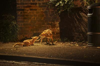 Urban Red Fox (Vulpes Vulpes) Adult Male and Cub on Street. West London UK by Terry Whittaker