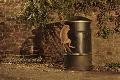 Urban Red Fox (Vulpes Vulpes) Cub Climbing into Litter Bin to Scavenge Food, West London, UK, June by Terry Whittaker