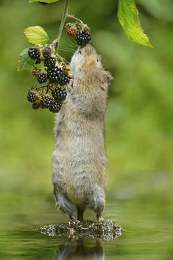 Water Vole (Arvicola Amphibius) Standing On Hind Legs Sniffing Blackberry, Kent, UK, September by Terry Whittaker