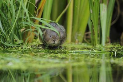 Water Vole (Arvicola Amphibius - Terrestris) Foraging by Water. Kent, UK, August by Terry Whittaker