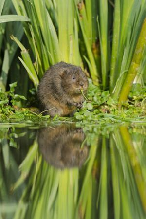 Water Vole (Arvicola Terrestris) Eating, Kent, England, UK, March by Terry Whittaker