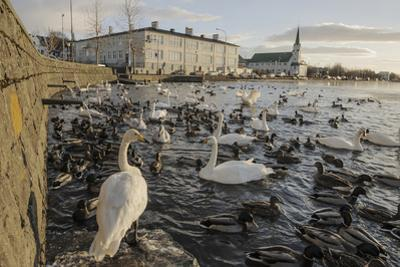 Whooper Swans (Cygnus Cygnus) and Other Waterfowl on Tjörnin (The Pond) Reykjavik by Terry Whittaker