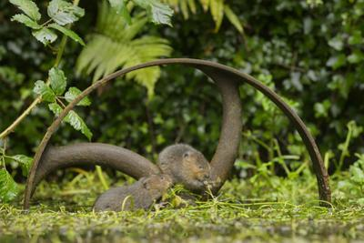 Young Water Voles (Arvicola Amphibius) on Old Pump Wheel, Kent, UK, October by Terry Whittaker