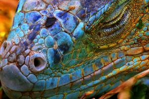 Amazing Iguana Specimen Displaying a Beautiful Blue Colorization of the Scales - 2 by TessarTheTegu