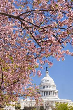 Cherry Blossoms in Front of Capitol Building in Washington D.C. by Tetra Images
