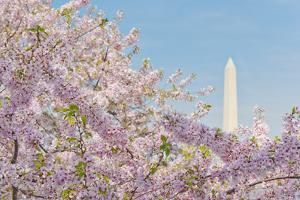 Usa, Washington Dc, Cherry Blossom with Washington Monument in Background by Tetra Images
