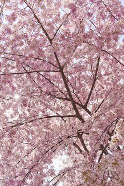 Usa, Washington Dc, Cherry Blossom by Tetra Images