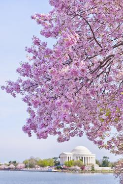 Usa, Washington Dc, Cherry Tree in Blossom with Jefferson Memorial in Background by Tetra Images