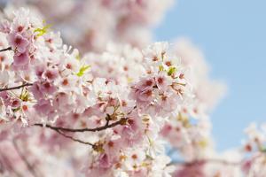 Usa, Washington Dc, Cherry Tree in Blossom by Tetra Images