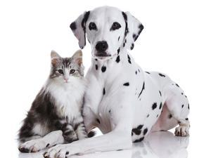 Dalmatian Dog and Norwegian Forest Cat by Tetsuo Morita