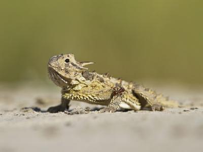 https://imgc.allpostersimages.com/img/posters/texas-horned-lizard-texas-usa_u-L-PHAP850.jpg?p=0