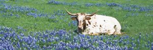 Texas Longhorn Cow Sitting on a Field, Hill County, Texas, USA