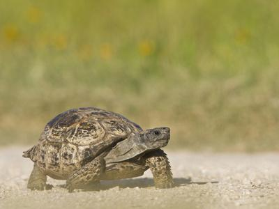 https://imgc.allpostersimages.com/img/posters/texas-tortoise-texas-usa_u-L-PHAD7X0.jpg?p=0