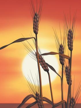 Texture, Sunrise Over Wheat