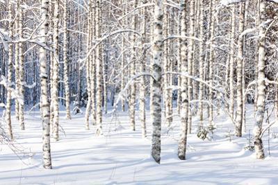 Snowy Birch Trunks by thakala