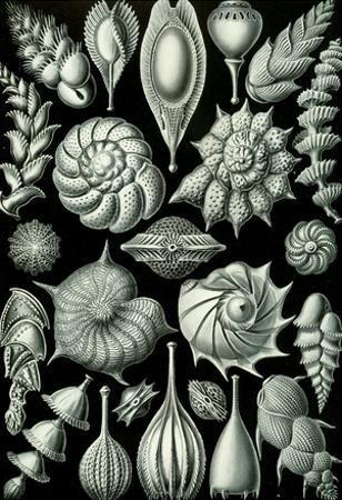 Thalamophora Nature Art Print Poster by Ernst Haeckel
