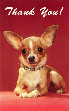 Thank You, Chihuahua