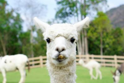 Close up of White Alpaca Looking Straight ahead in the Beautiful Green Meadow, it's Curious Cute Ey by thaweerat