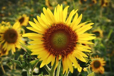 https://imgc.allpostersimages.com/img/posters/the-big-sunflower-in-garden_u-L-Q104FJX0.jpg?p=0