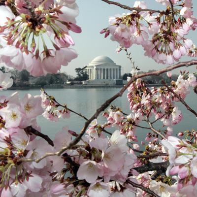 The Blossoms are Almost in Full Bloom on the Cherry Trees
