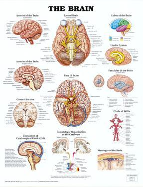 Brain posters for sale at allposters the brain anatomical chart poster print ccuart Image collections