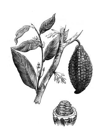 The Chocolate Nut Tree, 1886