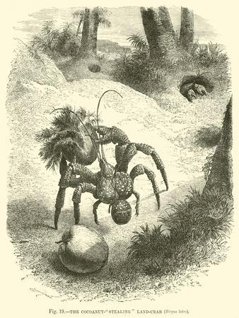 https://imgc.allpostersimages.com/img/posters/the-cocoanut-stealing-land-crab-birgus-latro_u-L-PP5ZK60.jpg?artPerspective=n