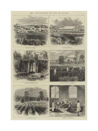 https://imgc.allpostersimages.com/img/posters/the-cultivation-of-tea-in-assam_u-L-PVMAGE0.jpg?artPerspective=n