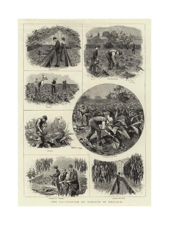https://imgc.allpostersimages.com/img/posters/the-cultivation-of-tobacco-in-england_u-L-PVM1WE0.jpg?p=0