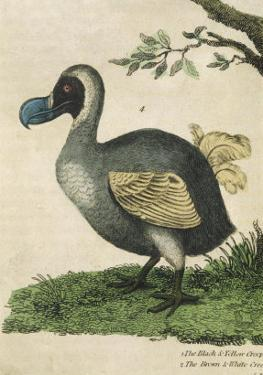 The Dodo in Profile
