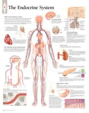 The Endocrine System Educational Chart Poster