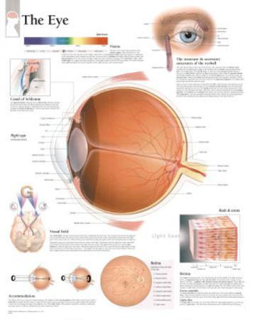 The Eye Educational Chart Poster