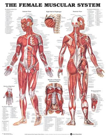 The Female Muscular System Anatomical Chart Poster