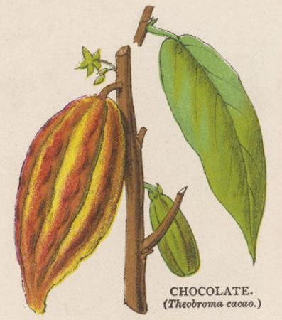 The Fruit of the Cocoa (Or Chocolate) Plant Theobroma Cacao