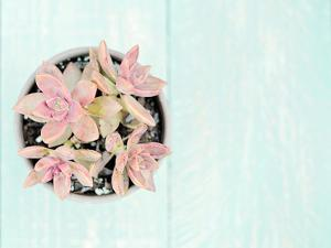 Pink Succulents by The Gingham Owl