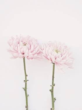 Sweet Pink Mums by The Gingham Owl