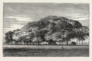 The Great Banyan Tree (Ficus Indica) in the Botanical Gardens, Calcutta, India